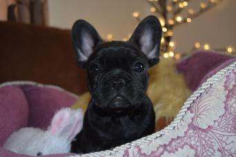 french bulldog - Dogs & Puppies, For Sale in Launceston