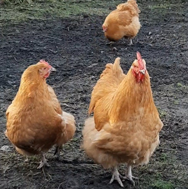 Preview of the first image of Buff Orpington Fertile Hens Chickens Hatching Eggs.