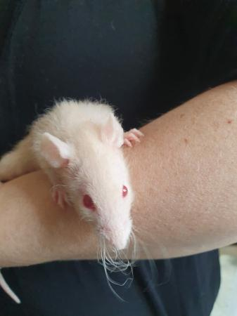 Image 2 of Male and Female baby rats £15 each