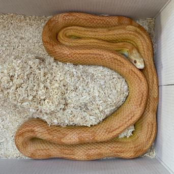 corn snake eggs - Reptiles, Rehome Buy and Sell | Preloved