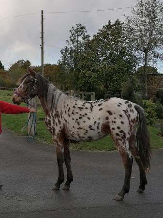 Image 1 of Project Horses, Ponies, Shetlands. Spotted Sports Horses