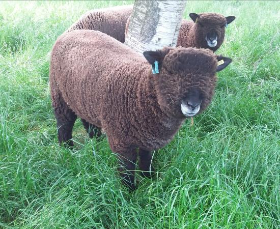 Image 2 of Malt Kiln Coloured Ryeland Flock 2021 lambs