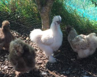 silkies - Poultry and Game, For Sale in Hertfordshire | Preloved