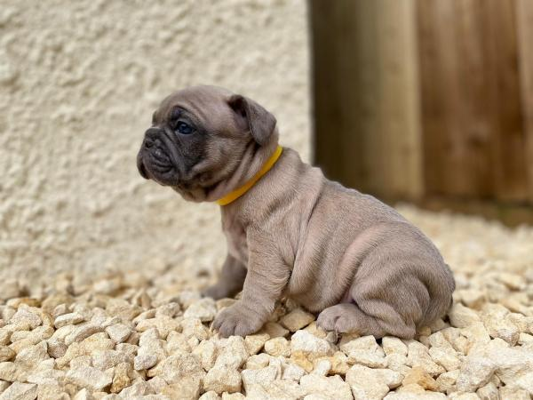 Image 3 of French bulldog puppies