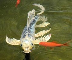 Goldfish local classifieds wanted in the uk and ireland for Koi pool kirkham