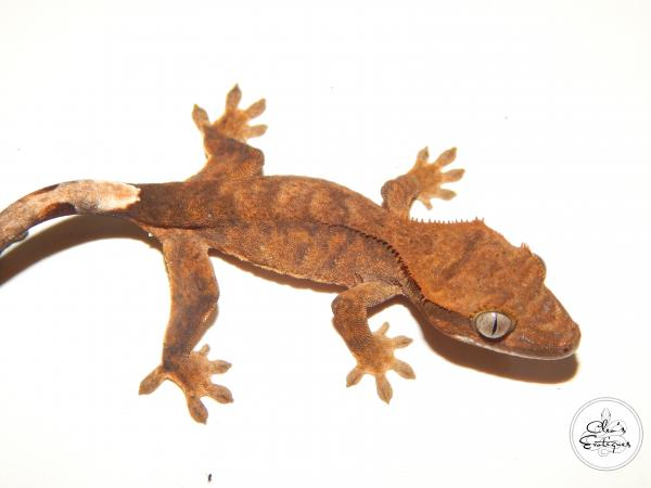 Image 2 of Unsexed bicoloured crested gecko