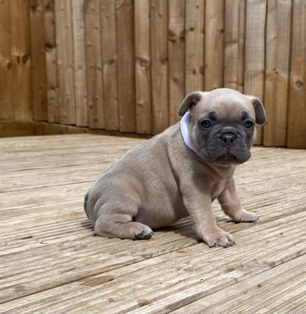 Image 2 of French bulldog puppies