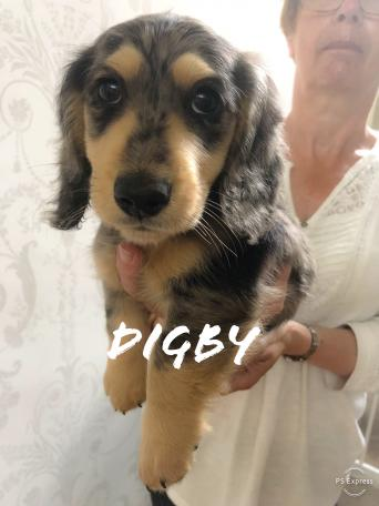 dachshund - Dogs & Puppies, Rehome Buy and Sell | Preloved