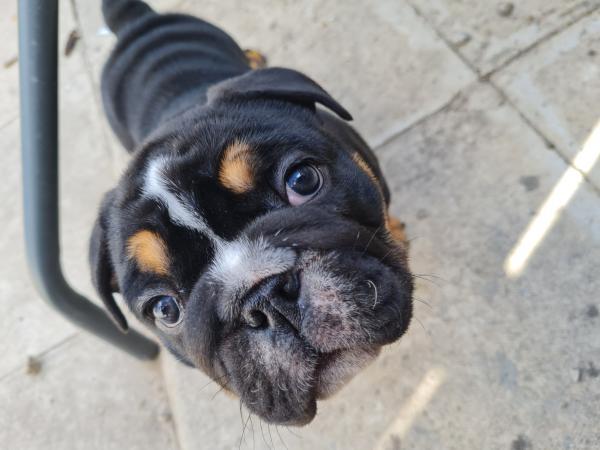Image 2 of British bulldog puppies