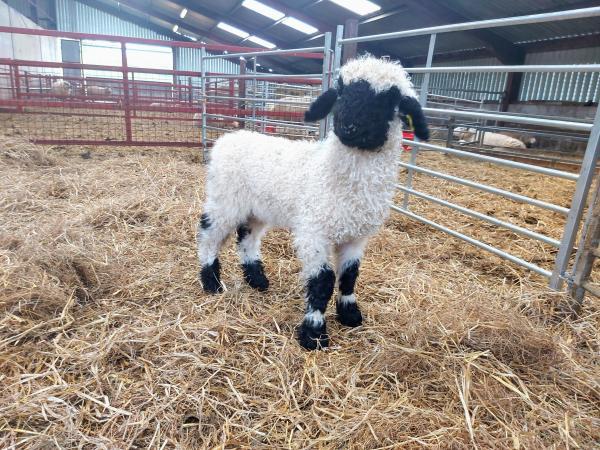 Image 4 of Selection of Quality Valais Blacknose Ewe Lambs