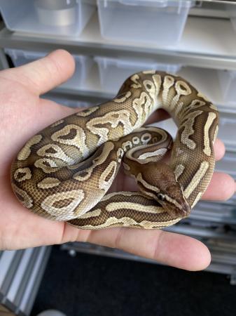 Image 1 of 1.0 Male Mojave Ball Python (Royal Python)