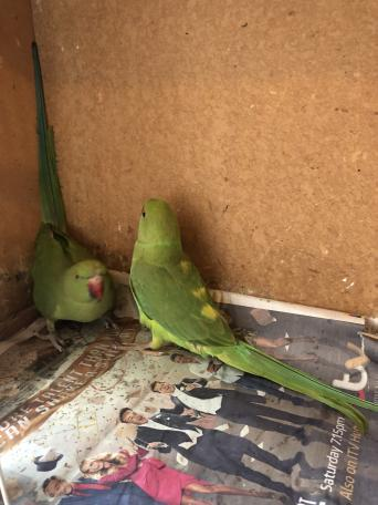 Birds, Rehome Buy and Sell in Welling | Preloved