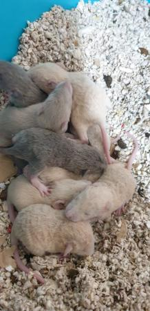 Image 21 of Tame Young/baby rats for sale (guaranteed tame)