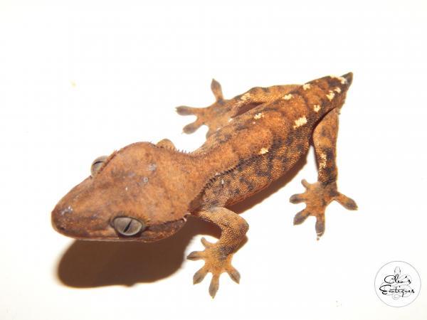 Image 2 of Unsexed orange tricoloured crested gecko