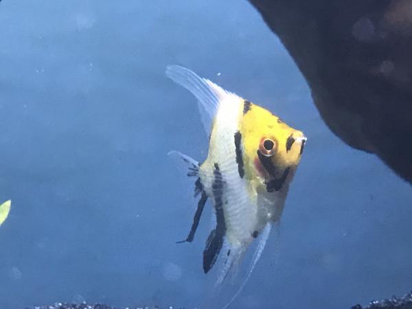 Image 3 of Angelfish Wanted