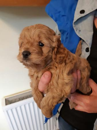 Image 12 of Kc, Registered pra clear deep Apricot toy poodle for stud