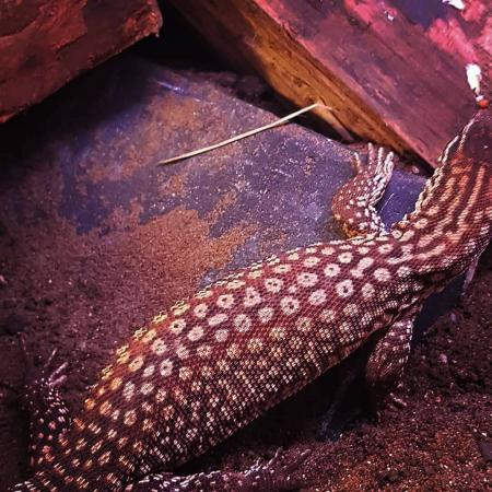 Image 6 of RESCUE/rehab/Rehoming - Monitor lizards