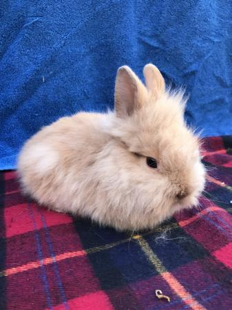 Image 1 of Double mane lionhead rabbit
