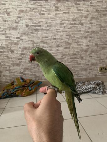 parakeet - Birds, For Sale in London | Preloved