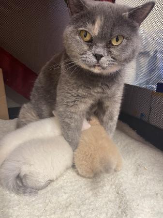 Image 1 of British shorthaired kittens