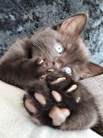 Image 9 of Black kittens