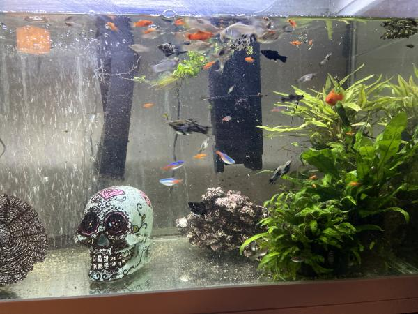 Image 2 of Tropical fish  mollies for sale