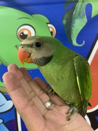 Image 3 of Stunning Hand Reared Baby Moustache Parrot