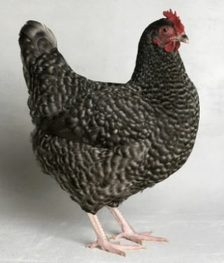 Image 10 of Point of Lay Chickens for Sale