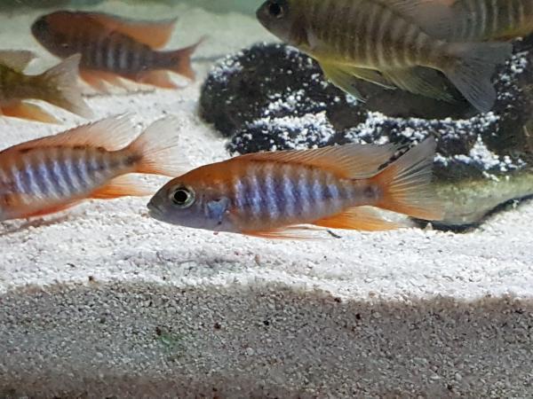 Image 8 of Malawi cichlids approx 6.5cm £8