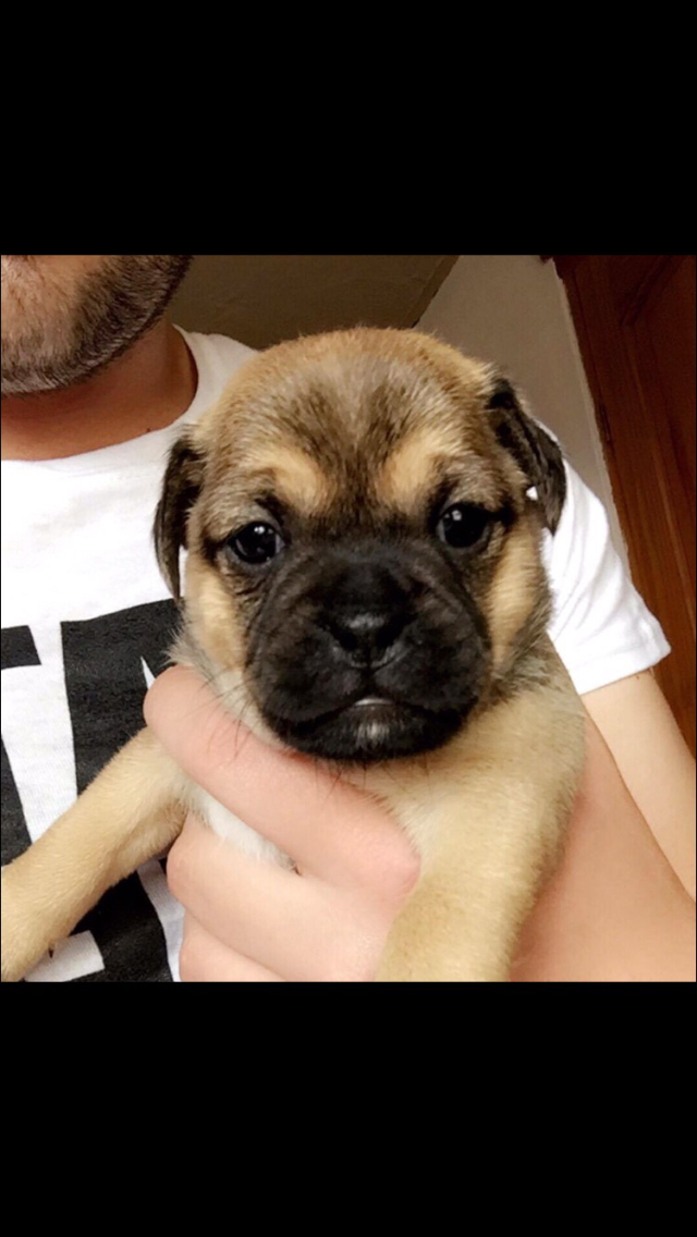 Stunning Jug (pug x jack russell) puppies for sale for sale  Hightown