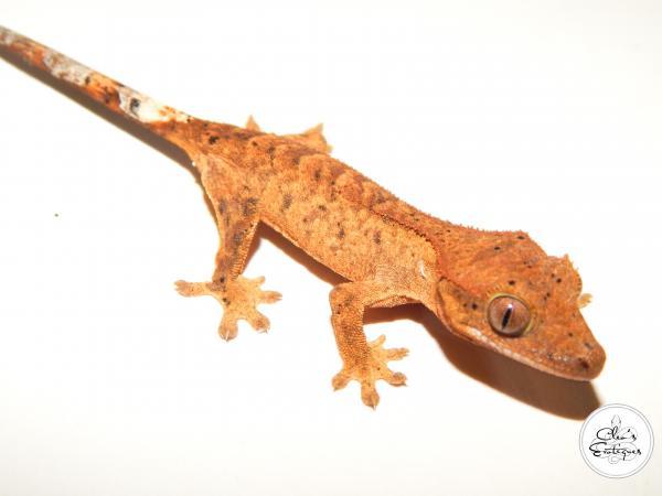 Image 3 of Unsexed orange Dalmatian Crested Gecko