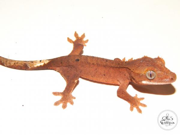Image 2 of Unsexed red Dalmatian Crested Gecko