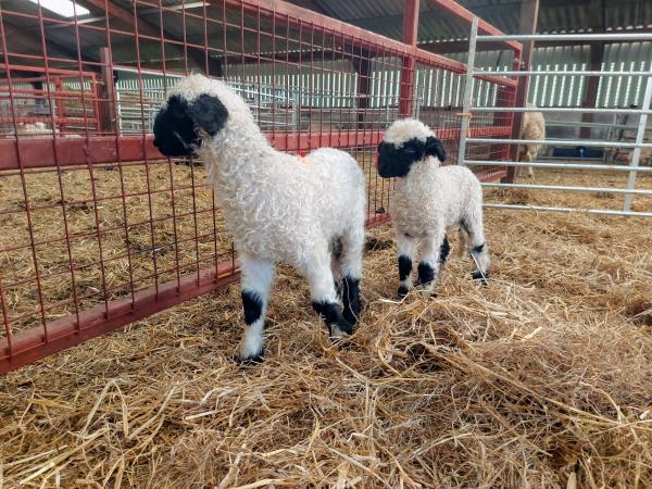 Image 5 of Selection of Quality Valais Blacknose Ewe Lambs