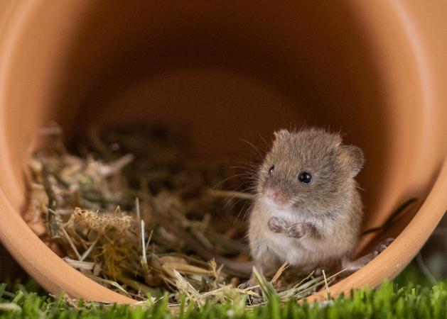 Image 4 of Harvest mice