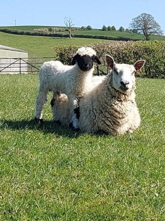 Image 8 of Selection of Quality Valais Blacknose Ewe Lambs