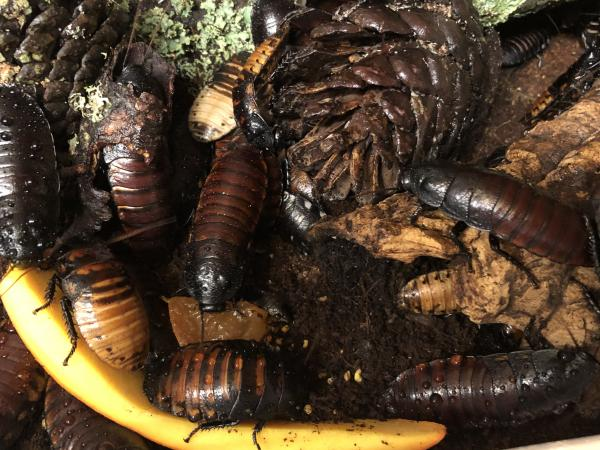 Image 1 of Madagascan hissing cockroaches