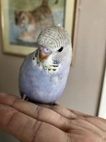 budgies - Birds, For Sale in Somerset   Preloved
