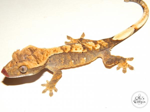 Image 3 of Unsexed partial pin harlequin crested