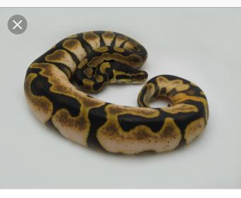 royal python morphs - Reptiles, Rehome Buy and Sell | Preloved