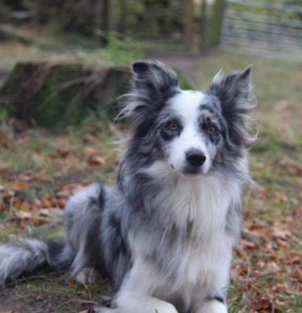 blue Merle border collie for stud