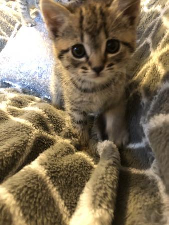 Image 2 of Beautiful tabby kitten for sale