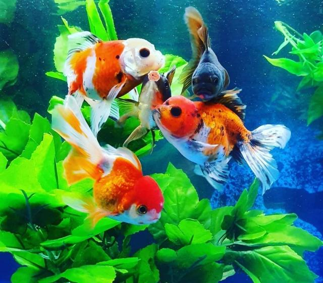 Preview of the first image of oranda goldfish breeding trio.