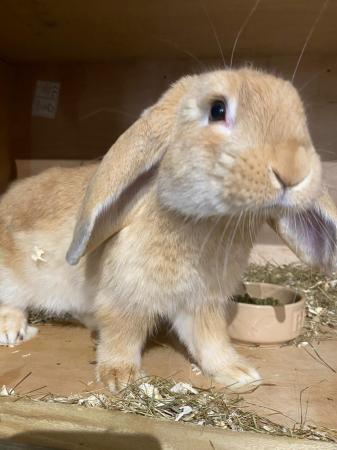Image 1 of baby Rabbits boys & girls french lop Dutch