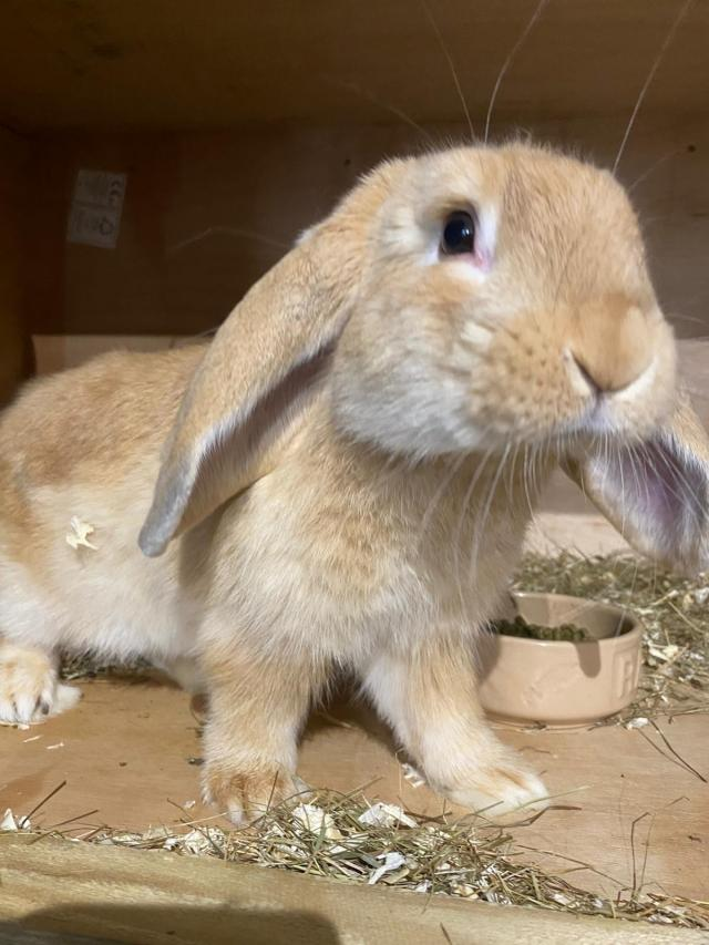 Preview of the first image of baby Rabbits boys & girls french lop Dutch.