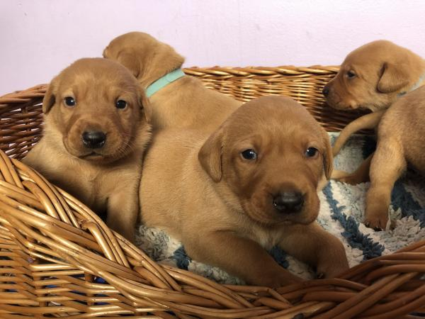 Fox Red Labrador Puppies For Sale In Nr Exeter Devon Preloved