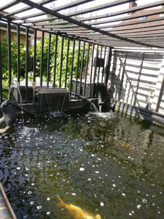 Image 1 of koi carps and sturgeons wanted for free to go to a good home