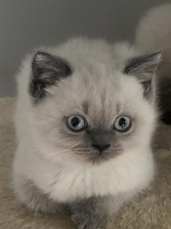 Image 1 of Stunning colourpoint Persian kittens