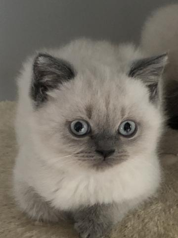 Preview of the first image of Stunning colourpoint Persian kittens.