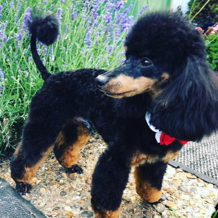 Kc Phantom Toy Poodle For Stud Fully Health Tested Cear
