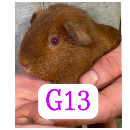 Image 2 of guinea pigs all sexes please see pics